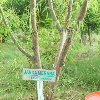 Tanaman Pohon Arsitek Lanskap